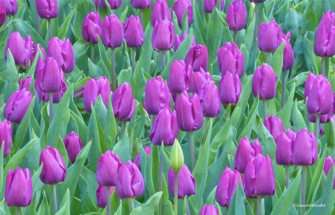 purple_tulips.jpg