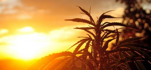 cannabis-plant-at-sunrise-prx9xuj