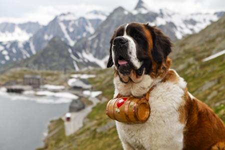 saint_bernard_whiskey